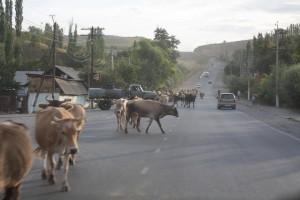 Kráva má na silnici přednost