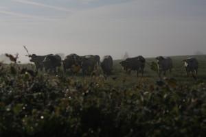 Probuzení s krávami