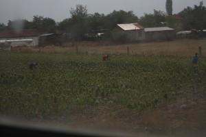 Tabákové plantáže u Prilepu