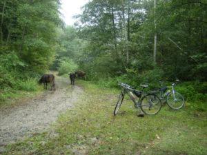 Ráno se před námi objevilo stádo Krav. Silnější má přednost a tak je necháváme přejít.