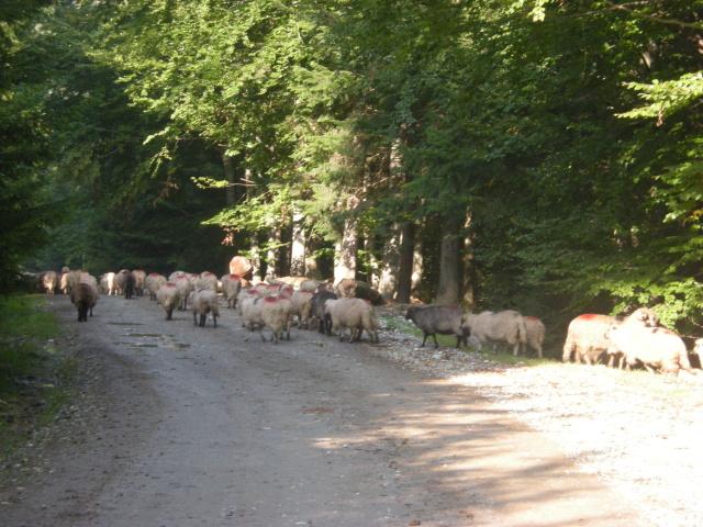 Cestu k highway nám ucpalo megastádo ovcí. Najednou byly všude okolo.